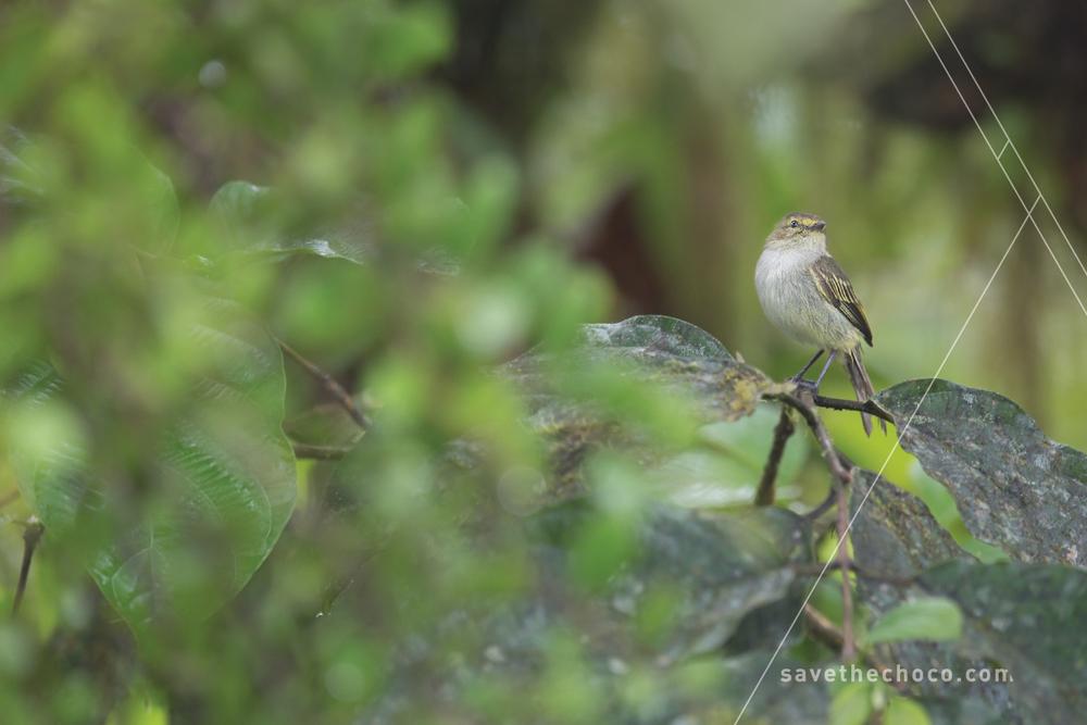 Choco Tyrannulet  ( Zimmerius albigularis )
