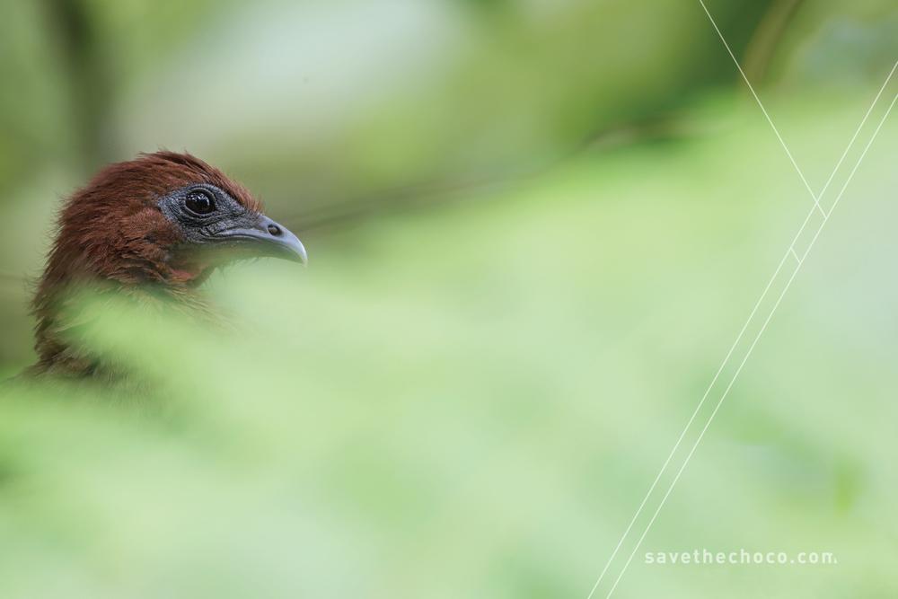 Rufous-headed Chachalaca (Ortalis erythroptera)