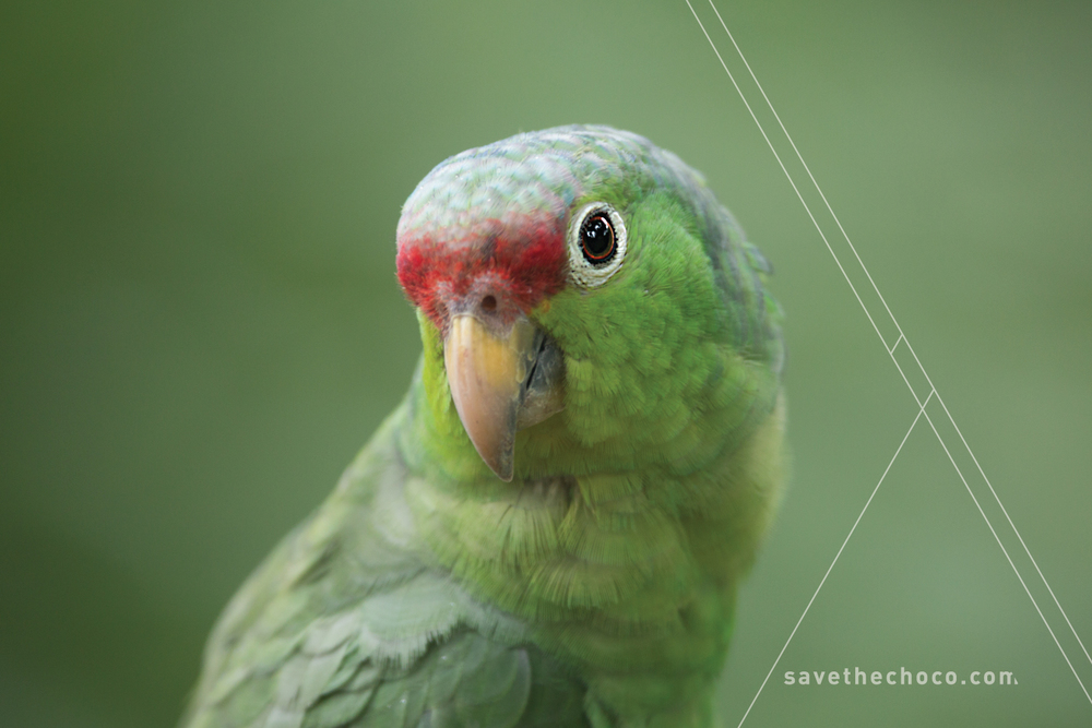 Red-lored Parrot  ( Amazona autumnalis )