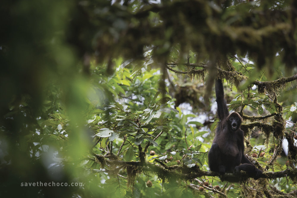 Brown-headed spider monkey (Ateles fusciceps fusciceps) Critically Endangered