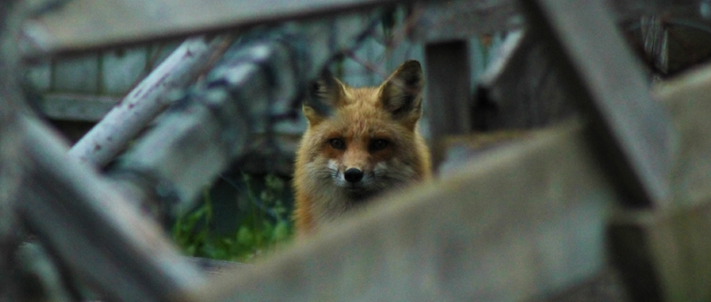Mama fox watching as I pass by at sunrise. Her pups are behind her underneath an old cabin.