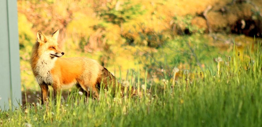 Fox in Boularderie Island, Cape Breton at sundown