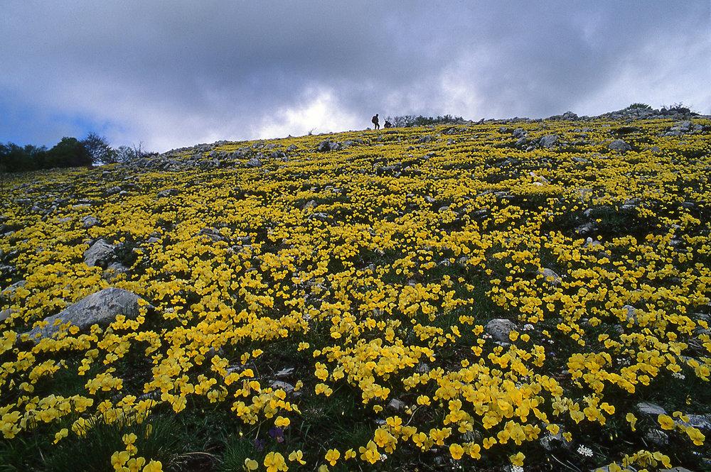 Viole calcarate sui monti Simbruini.jpg
