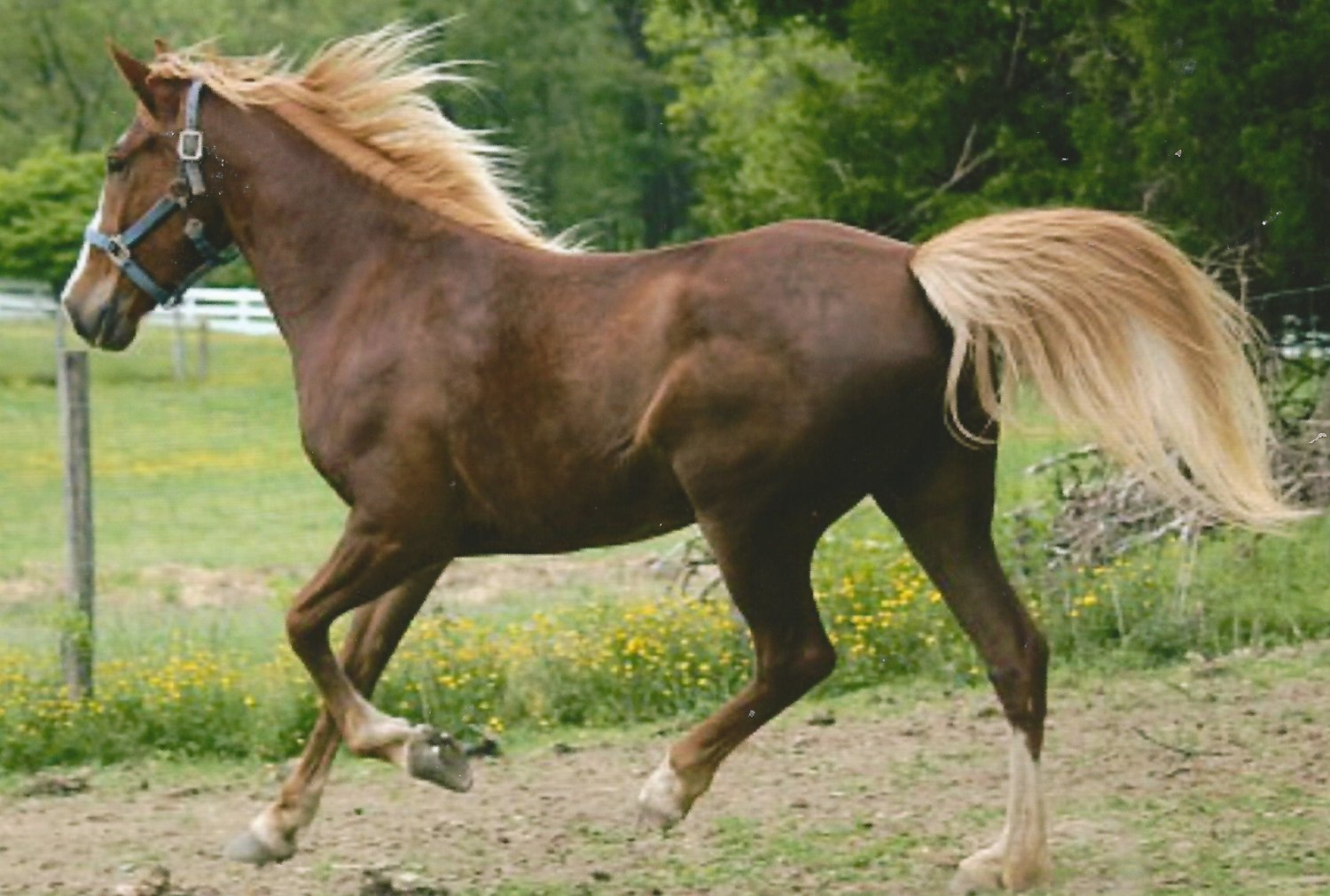 """Sugar""   Kentucky Mountain Saddled Horse"