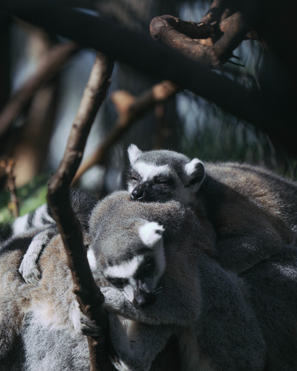 Cute and cosy sleeping Lemurs at the Florida Aquarium. Its not just about the fish!
