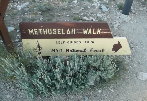 The Methuselah Grove Walk - Skianything.com