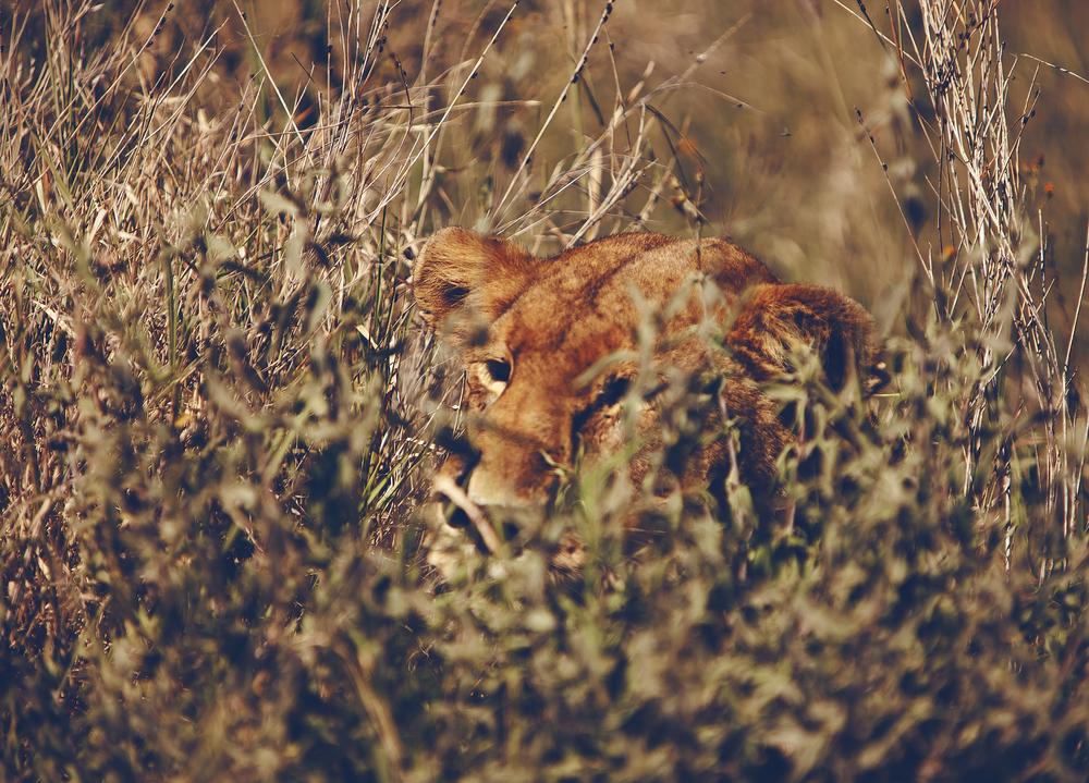 lion safari africa adventure travel