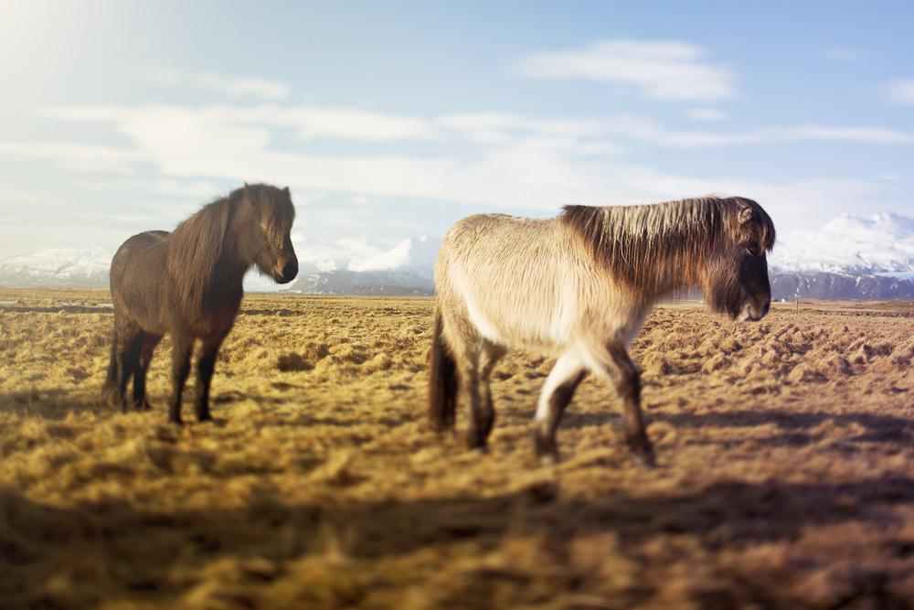 Icelandic Horse Duo