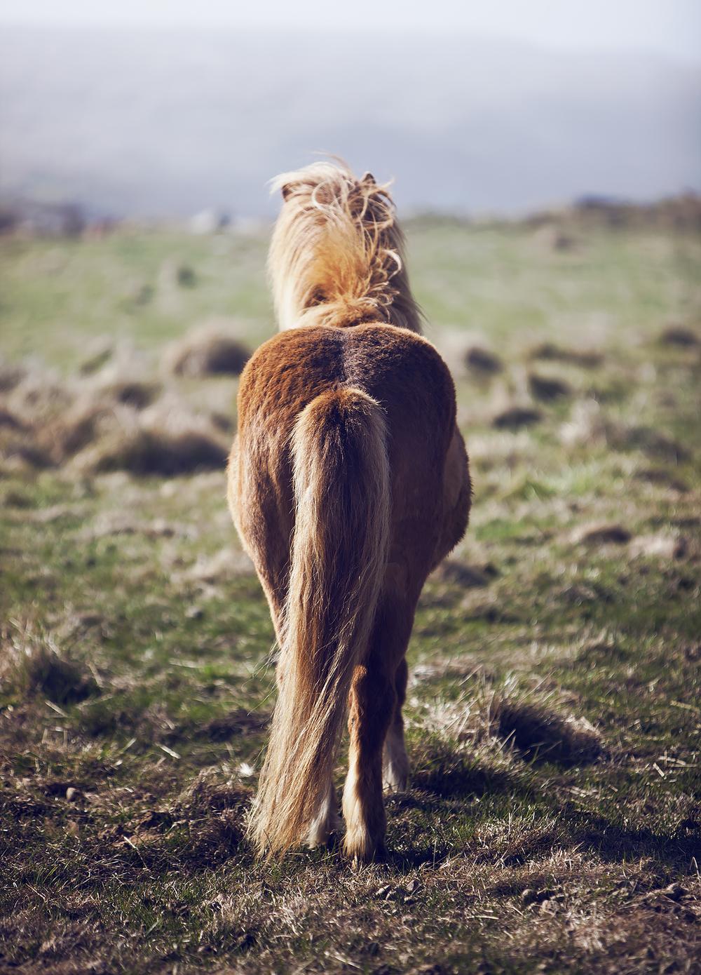 Icelandic Horse Tail animals