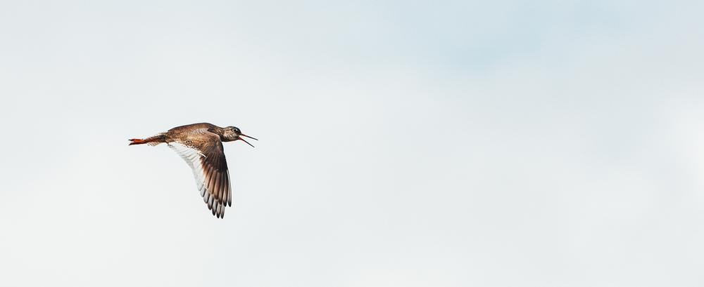 Flying icelandic birds