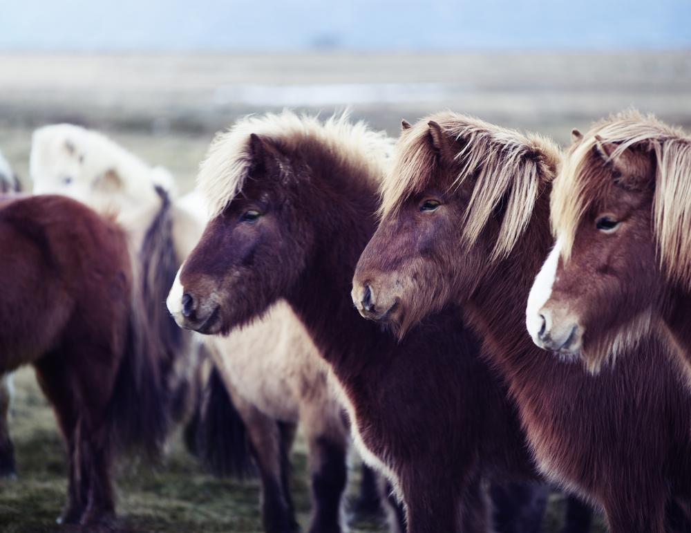 Icelandic Horse Trio