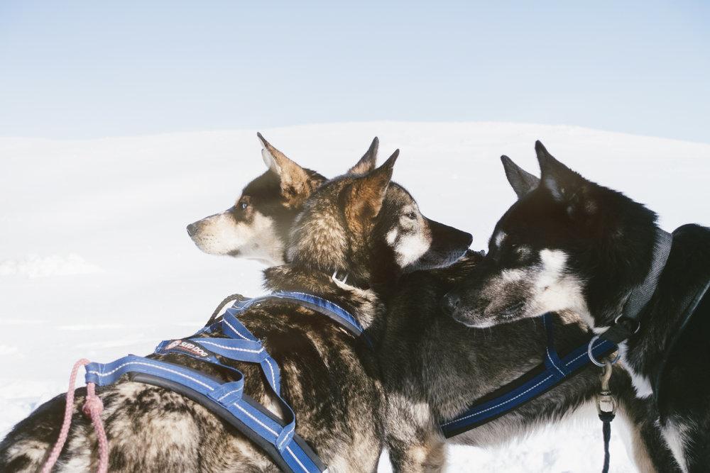 dog sledding animal adventure explore