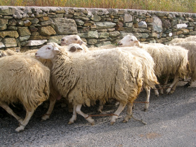 Sheep Herding, Folengandros, Greece