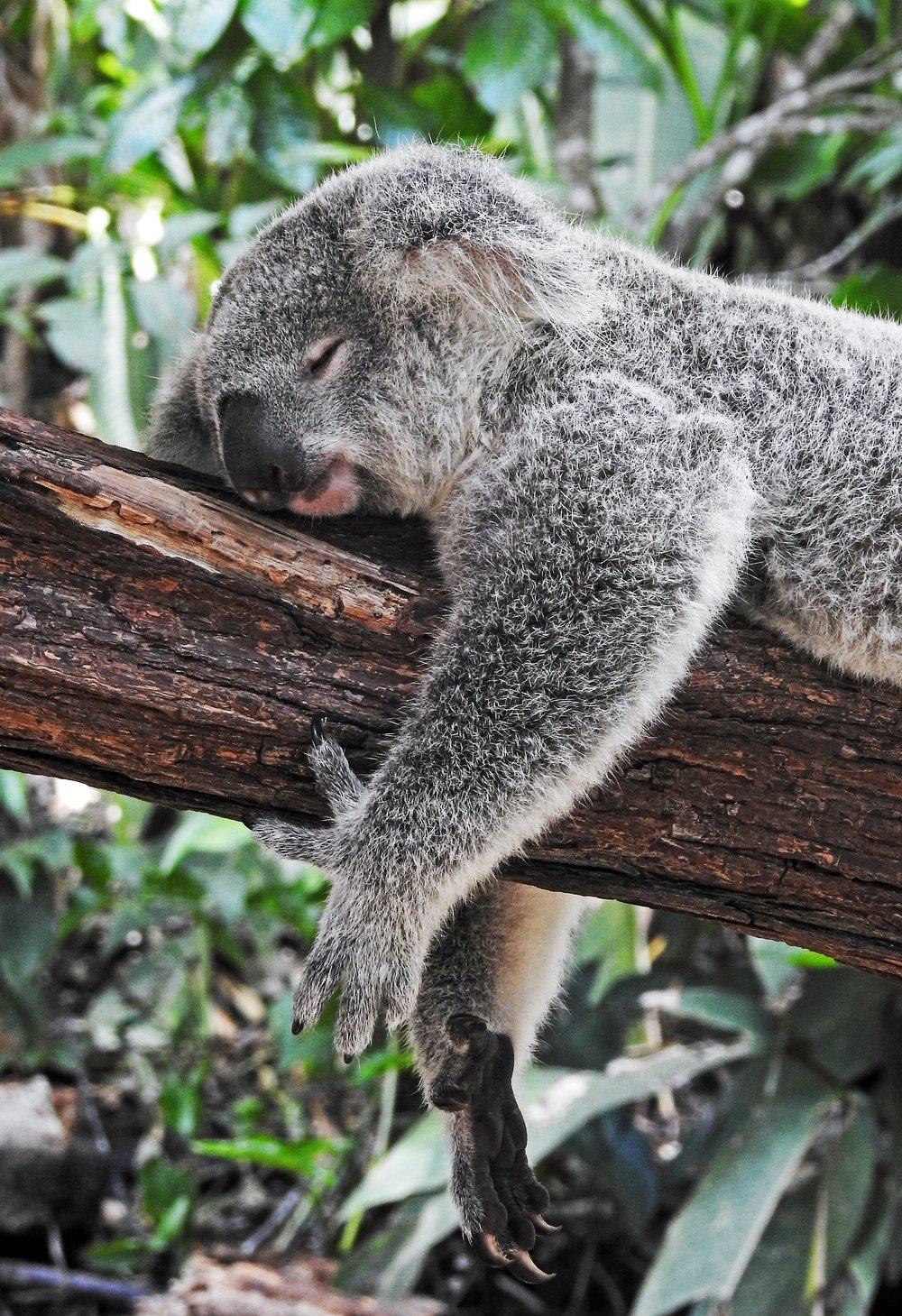 koala.after