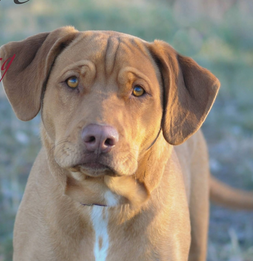 Skye is an adoptable lab and pit bull mix. Find information about her and other available pets by clicking on the adopt button in the navigation bar!