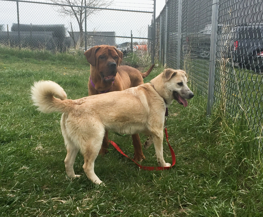 Norman (brown mastiff) and Tamela (tan husky mix) check out the play area at BDAR.