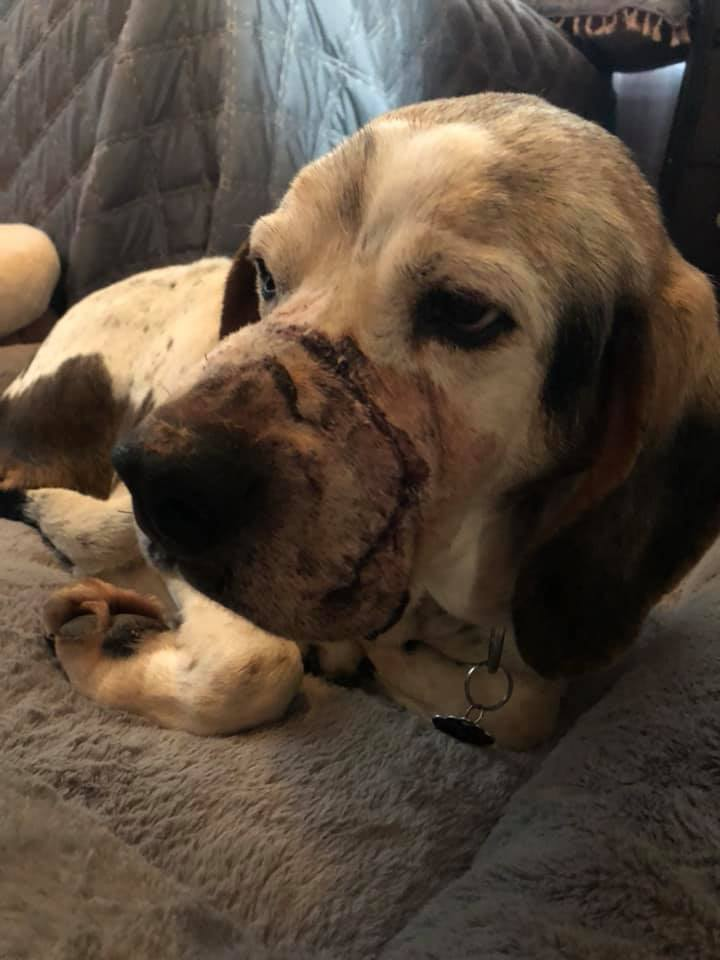 Trapper, post-surgery.