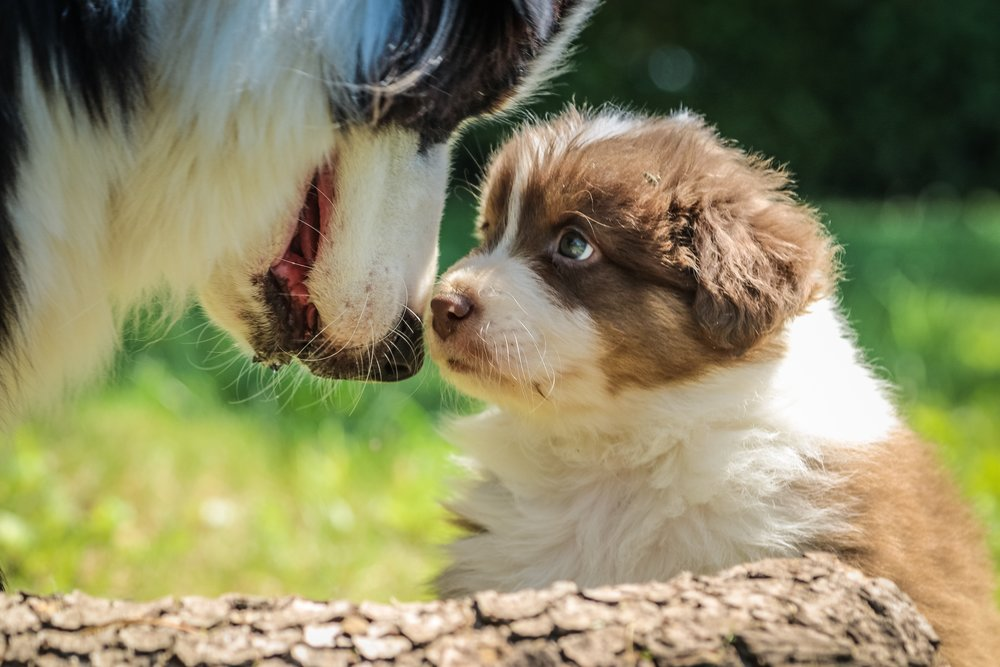 If you go to a reputable breeder, seeing the puppy with it's parents will be standard practice.
