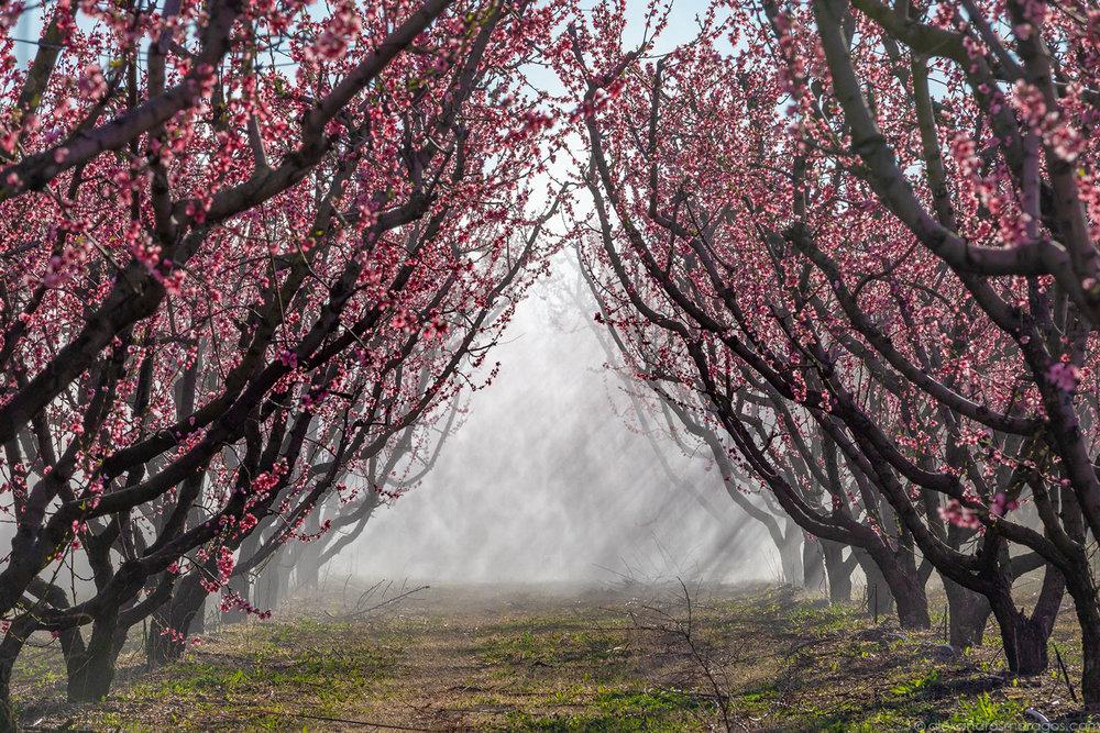 The Flowering Peach Trees of Veria, Greece   © Alexandros Maragos