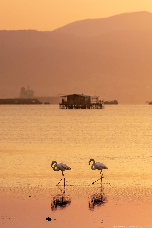 Flamingos in Thessaloniki Wallpaper | © Alexandros Maragos