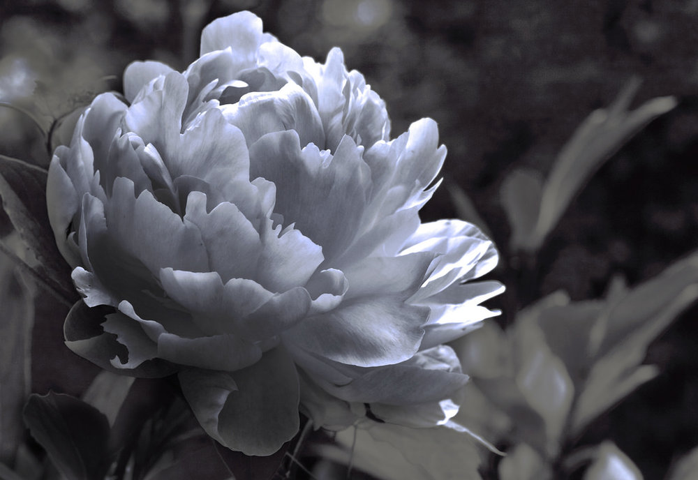 Liz West/Creative Commons [Image Description: A black and white photograph of a peony in full bloom.]