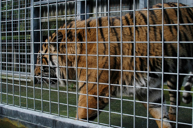 [Image description: photograph of a tiger pacing behind the bars of a cage.]   John Morton / Creative Commons