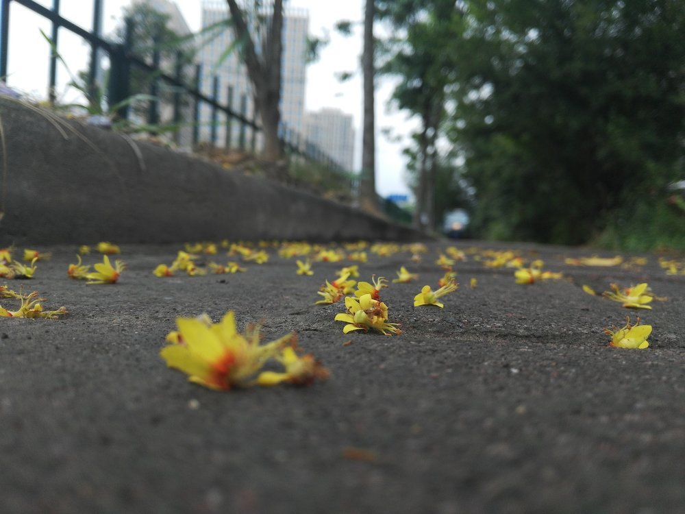 Public Domain.  [Photo description: fallen flowers litter the ground of an empty, tree-lined street.]