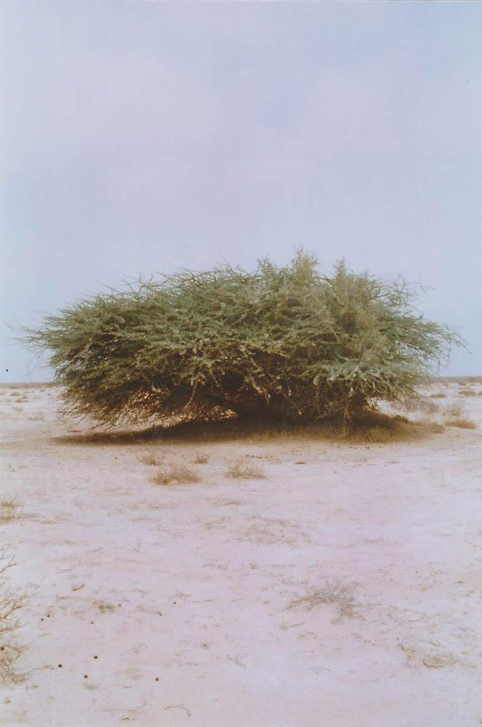 [Image description: photograph of a single wide, leafy shrub in the middle of a sandy landscape.]  Nanette Thiam