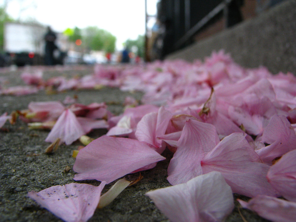 [Image description: photograph of piles of loose pink flower petals, discarded at the side of a road.]  Catherine / Creative Commons