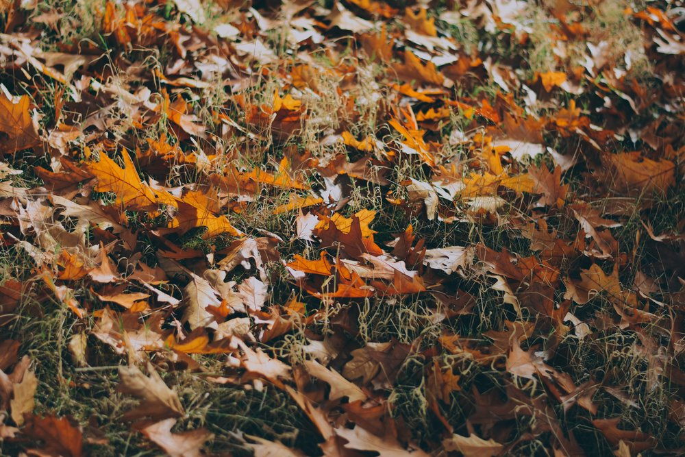 [photo description: a close-up of fallen oak leaves scattered on grass]   Mitch Rosen/Creative Commons