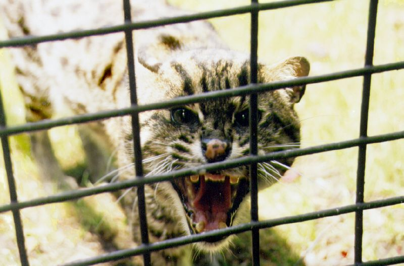 [Image description: photograph of an ocelot behind a grid fence. The creature is roaring or hissing, revealing what appear to be broken fangs.]   Jayson Emery / Creative Commons