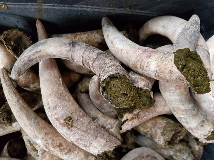 Enterrar chifres de vaca preenchidos com esterco fermentado junto às vinhas é outra das técnicas biodinâmicas (Crédito:  Live-Green-Magazine ).