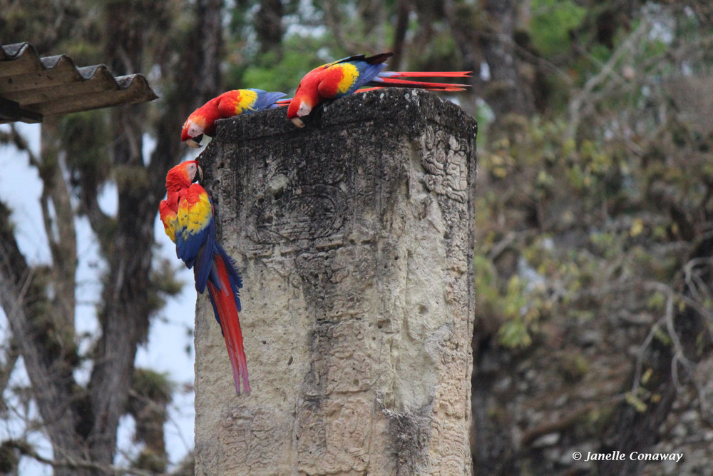 Scarlet macaws study Maya glyphs on a stela at the archaeological ruins in Copán, Honduras. A conservation program is reintroducing the birds to the area.