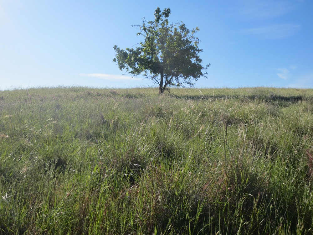 An area of purple needle grass, 2015