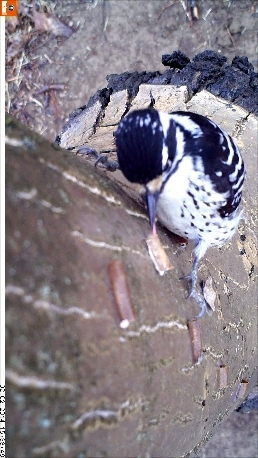 Nuttall's woodpecker eating codling moths