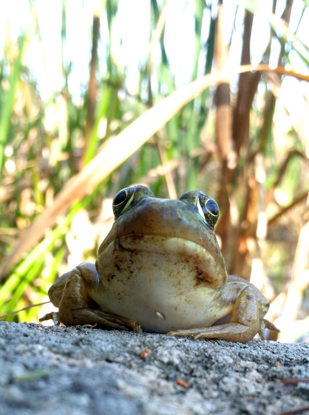 bullfrog (iPhone 4, Maine 2015)