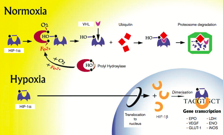 Figure 2.    Hypoxia Inducible Factor -1 Pathways in Normoxia & Hypoxia.   (VHL: Von Hippel Lindau protein, EPO: Eryth- ropoietin, VEGF: Vascular endothelial growth factor, GLUT-1: Glucose transporter 1, LDH: Lactate dehydrogenase, ENO: Eno- lase-1 and iNOS: Inducible nitric oxide synthase). [  12]