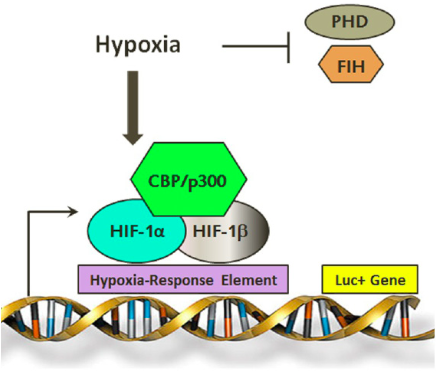 Figure 3.    The pDNMT3b-Luciferase Vector/Construct.   Hypoxia induces HIF-1 transcription factor binding to the HRE, resulting in expression of the Luc+ gene and hence luciferase production. (p300: EIA binding protein p300; CBP: CREB-binding protein; HIF: Hypoxia Inducible Factor; PHD: prolyl hydroxylase; FIH: factor inhibiting HIF).