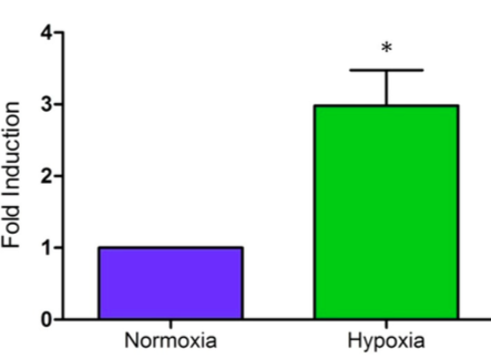 Figure 5.    Luciferase expression was induced by hypoxia.   Comparison of luciferase activity in HeLa cells transfected with a pD- NMT3b luciferase vector in both normoxic (21% O2) and hypoxic (1% O2) conditions after 24 hours incubation. (Fold induction = the ratio of normalised luciferase activity of transfected HeLa cells in normoxia to those in hypoxia). (*P < 0.05). The values represent means ± SEM for n=5 (representing the 5 pairs – one set of normoxic and hypoxic – of HeLa cells that were compared after being placed in their respective conditions.