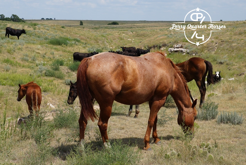 2005 AQHA Red Roan Mare - $850