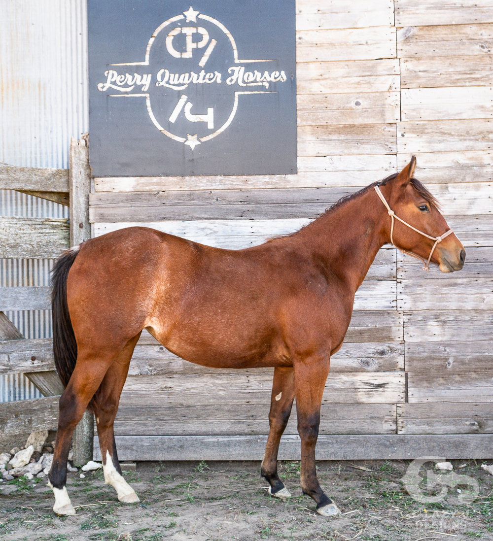 """Martina"" - 2017 Bay Rabicano Filly - Sale Pending"