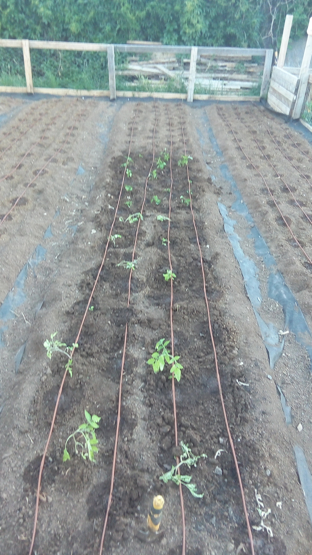 Transplanted bell peppers and tomatoes