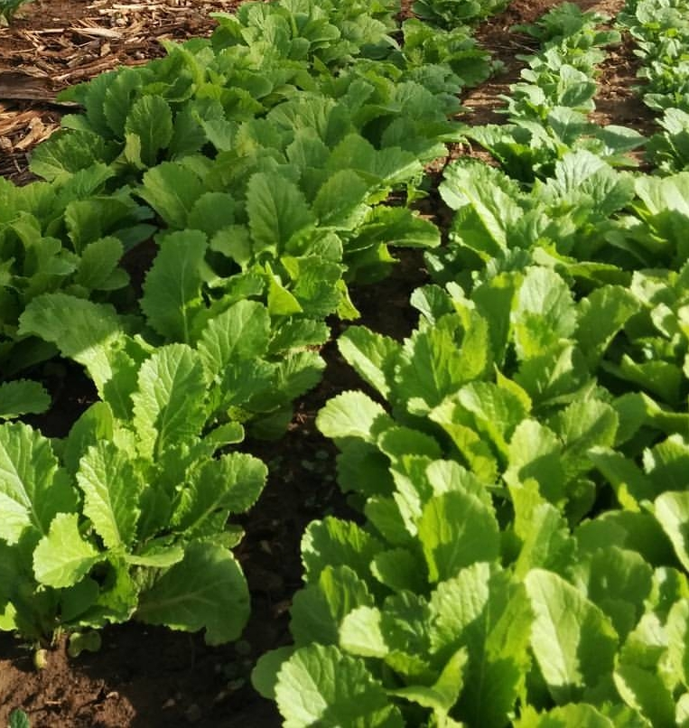 Mustard Greens - Fine, flavorful leaves of Florida Broadleaf can be used fresh in salads and sandwiches or cooked.Google Recipes