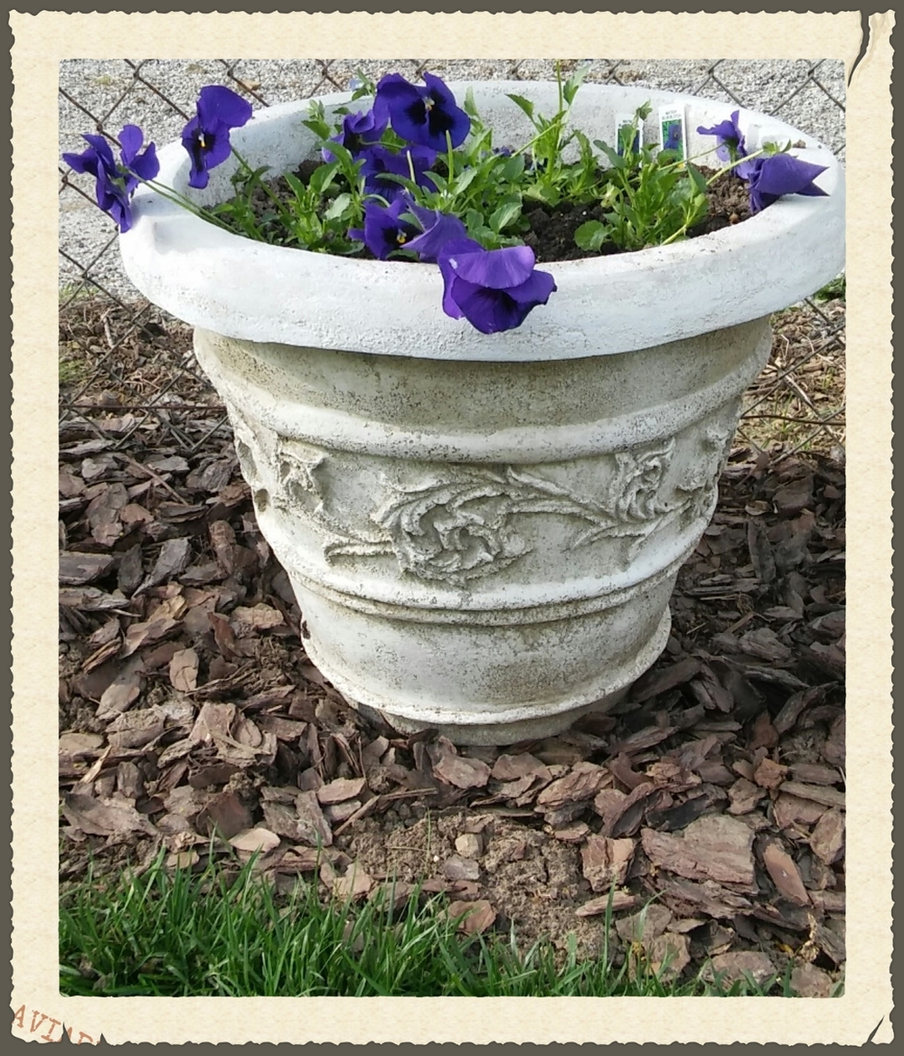 pansy in pot 1.jpg