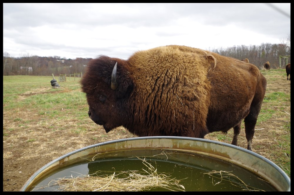 Bison at watre tank 2.JPG