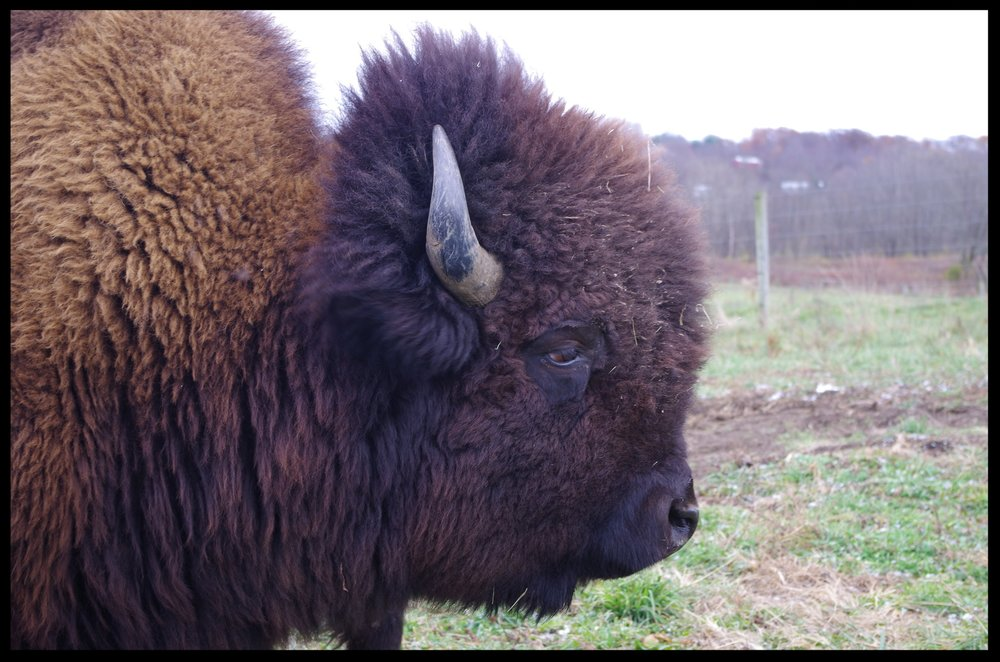 Closeup Bison 2.JPG