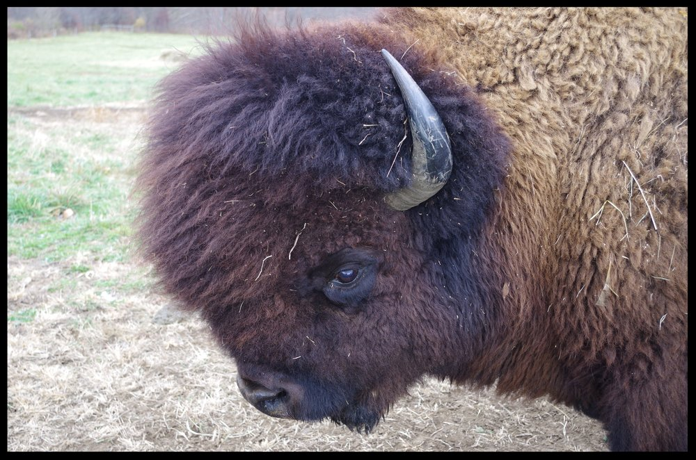 Closeup Bison 1.JPG