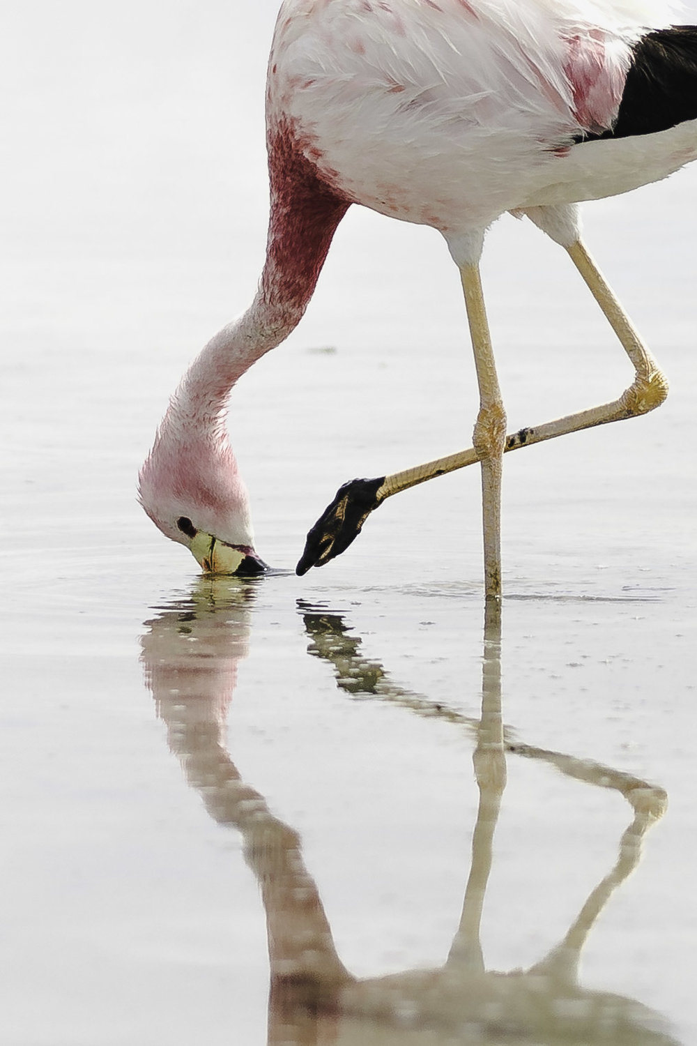 Flamingo in the Salt flats, Atacama Desert