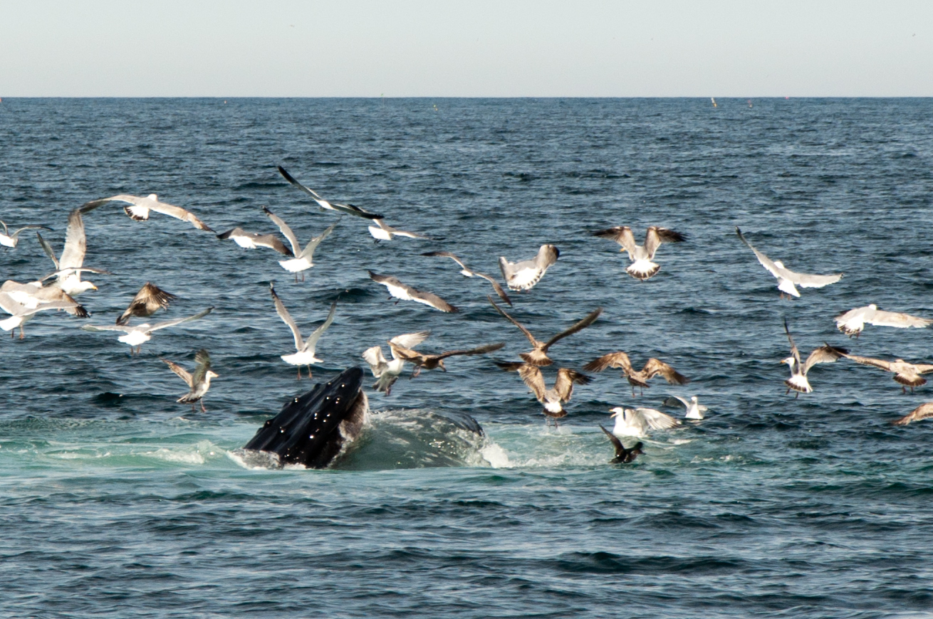 humpback whale eating