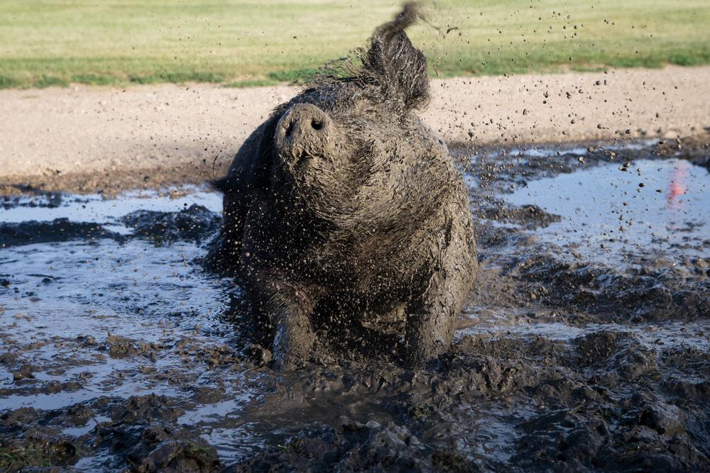 pig shake-8973.jpg